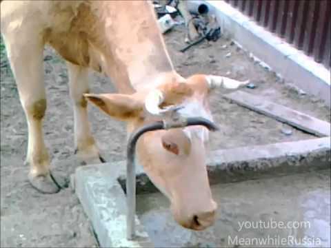 Thằng nào bảo ngu như bò, đấm phát chết luôn