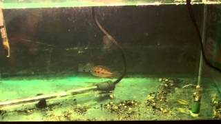 How to Treat Sick Fish. Treating sick fish with Malachite Green & Methyl Blue