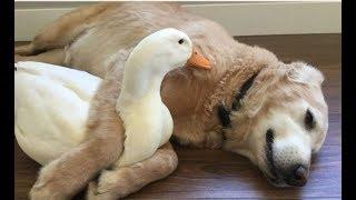 「絶対笑う」最高におもしろ犬,猫,動物のハプニング,失敗画像集#29