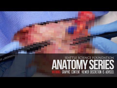 Anatomia dna jamy ustnej
