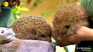 Overweight hedgehogs go on strict diet in Israeli wildlife hospital