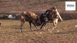 Die Wildhunde im Zoo Magdeburg