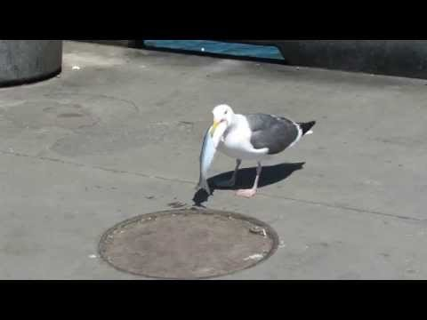 Hungry Seagull Swallows a Fish Whole