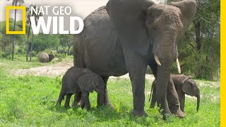 Rare African Elephant Twins are Thriving | Nat Geo Wild
