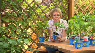 Chili paprika nevelése és termesztése
