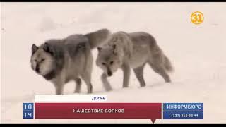 В ВКО поймали полутораметрового волка