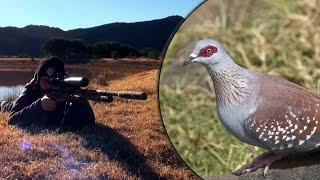 Long Range Airgun Hunting – Pigeon Paradise Episode 2