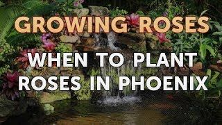 When to Plant Roses in Phoenix