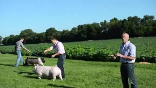 Training Show Pigs