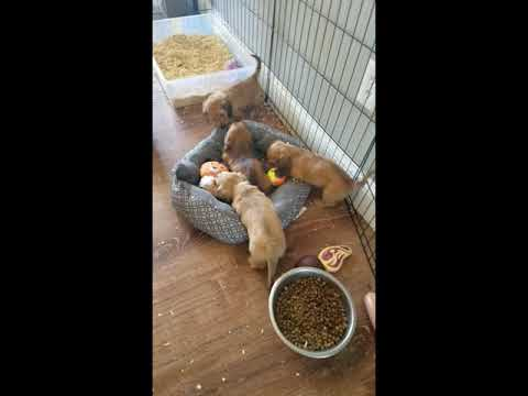 Puppies Playing In the House