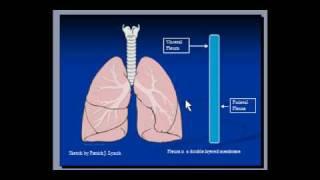 Lungs - Pleura