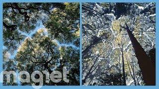 La ciencia detrás de la timidez, el fenómeno por el cual las copas de los árboles evitan tocarse entre sí