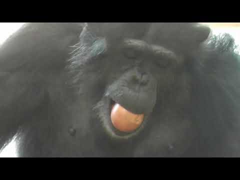 【東山動植物園公式】マシマシチンパンジー『第5回~ヤサイマシマシ~ 後編その④』