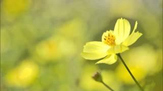 プッチーニ:歌劇「蝶々夫人」:ある晴れた日に[ナクソス・クラシック・キュレーション#ロマンチック]