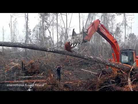 Orangutan tries to fight a bulldozer that is destroying it's habitat