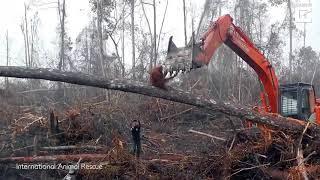 Thumbnail for Sadness As An Orangutan Tries To Fight The Digger Destroying Its Habitat