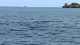preview picture of video 'Spinner Dolphin acrobatics off the east coast of Africa near Pemba (Tanzania)'