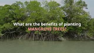 Benefits and Importance of Mangrove Trees