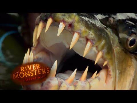 Redoutable poisson-tigre !
