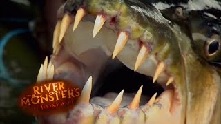 Ikan Harimau Goliath - Monster Sungai