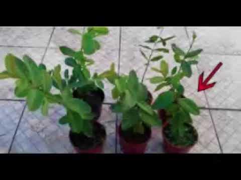 Herbes augmentent les niveaux dinsuline