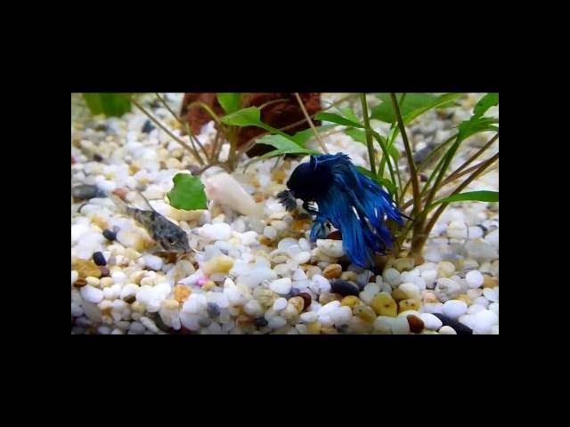 Corydoras and Betta Fish Tank