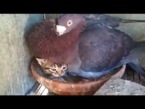 Gołąb broni pisklaka przed człowiekiem