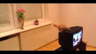 katt jump mislykkes, katt på TV unnlater å hoppe og faller