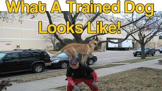 Trained Belgium Malinois- Famous Rocky