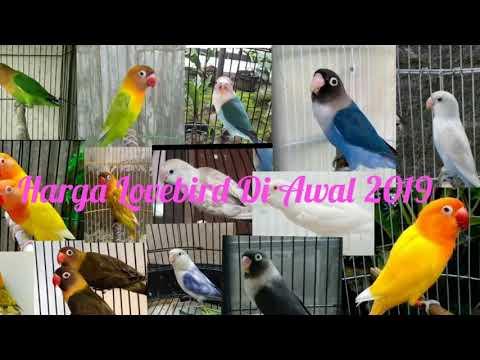 Harga Terbaru Lovebird Awal 2019 ♧♢♡♤ Anakan Sampai Dewasa