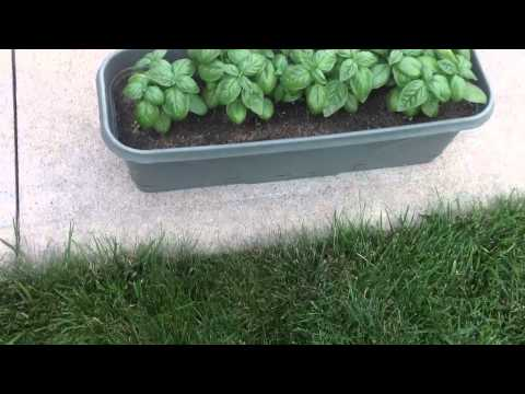 Video Get rid of ants in your garden with black pepper!