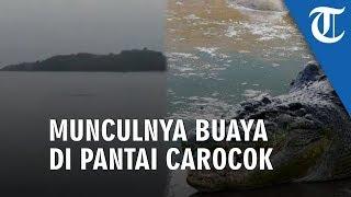 Munculnya Buaya di Pantai Carocok Diduga karena Sisa Pembuangan Hewan Qurban