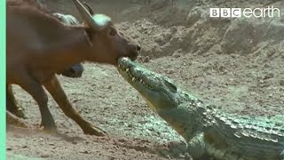 Nile Crocodile - Hunting Buffalo
