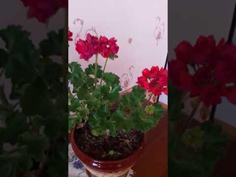 Тюльпановидная пеларгония Lillian Andrea