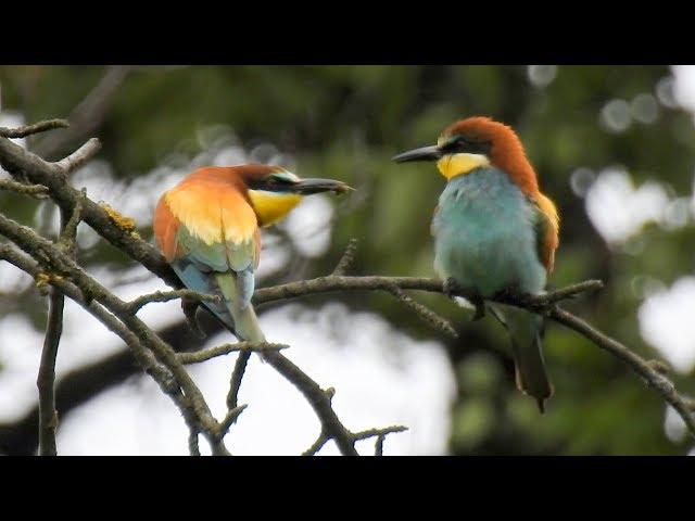 Vlha-pestrá-merops-apiaster-bienenfresser-european-bee-eater