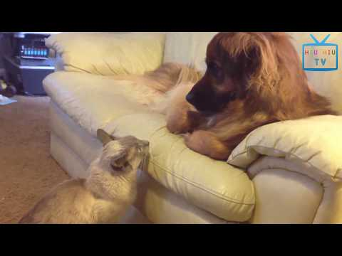 Funny Animal Mating - Top 10 Funny Cats Annoying Dogs In The World