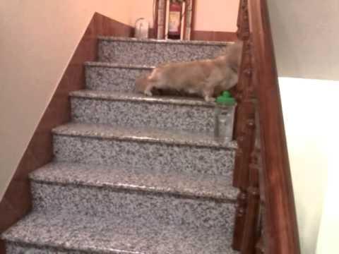 臘腸狗超爆笑的爬樓梯方式