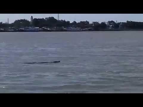 Berita TERKINI !!buaya di laut cilacap
