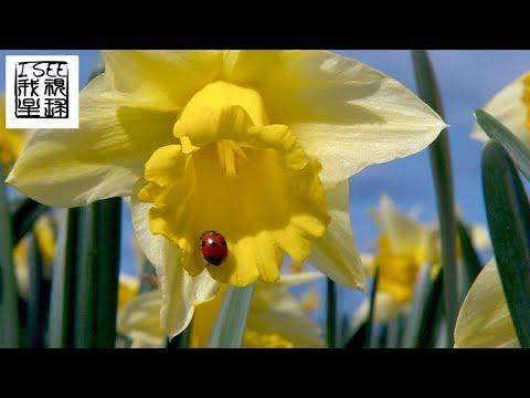, title : '英国锡利群岛上的鲜花农场