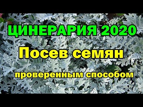 ЦИНЕРАРИЯ 2020. Посев семян проверенным способом.