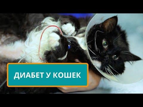 Сахарный диабет у кошек.  Симптомы, признаки, диагностика и лечение.  Рассказывает ветеринар