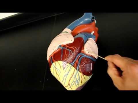 Coronary Artery Anatomy - Cardiovascular - Medbullets Step 1