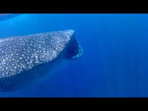 Whale Shark, Holbox