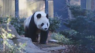 東京都恩賜上野動物園繁殖準備中のパンダを公開 動画キャプチャー