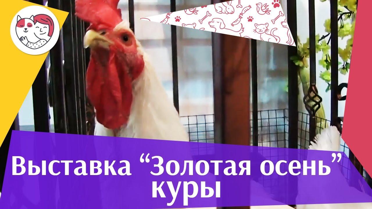 Куры Агропромышленная выставка Золотая осень 2016 iLike Pet