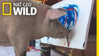 Can Animals Be Creative? Pigcasso The Painting Pig Is Making Her Case | Nat Geo Wild