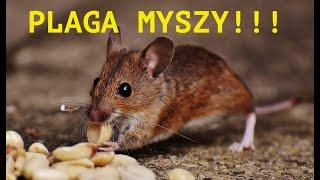MÓJ SUBSKRYBOWANY KANAŁ – Plaga myszy na Opolszczyźnie!