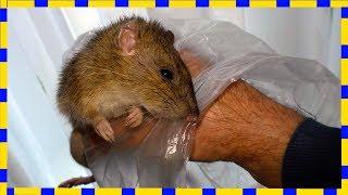 Как поймать крысу в сарае