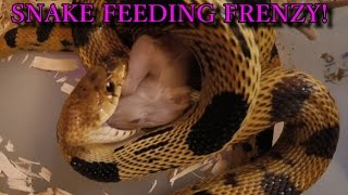 SNAKES EATING MICE - IN YOUR FACE! (GoPro Action)