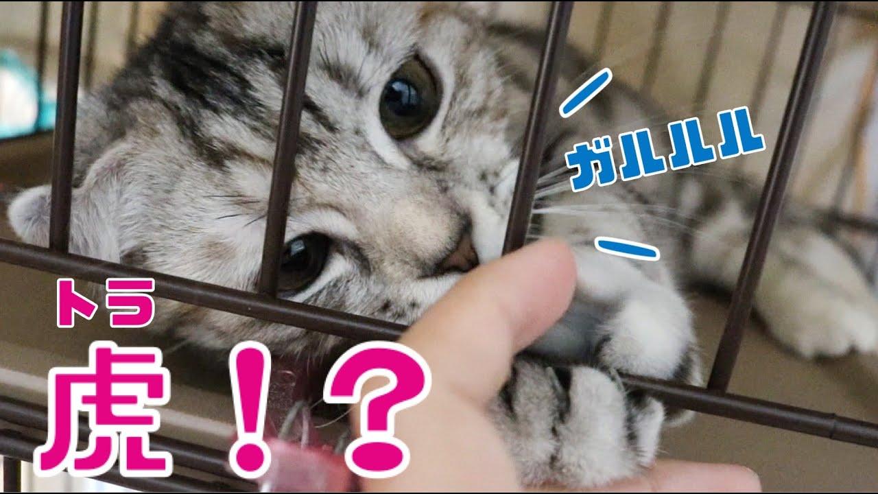 最近、子猫がトラに見えてきた【スコティッシュフォールドの子猫】